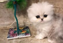 cucciolo di gatto persiano