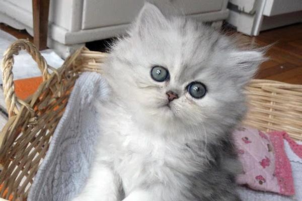 gattino a pelo lungo e argentato