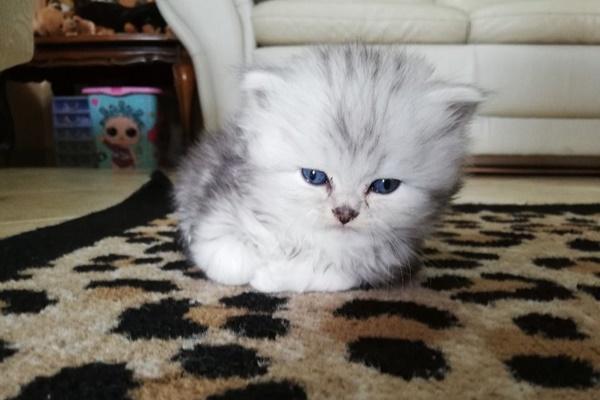 gattino con la testa molto grande