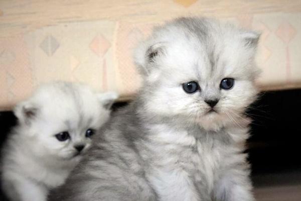 cuccioli di persiano chinchillà