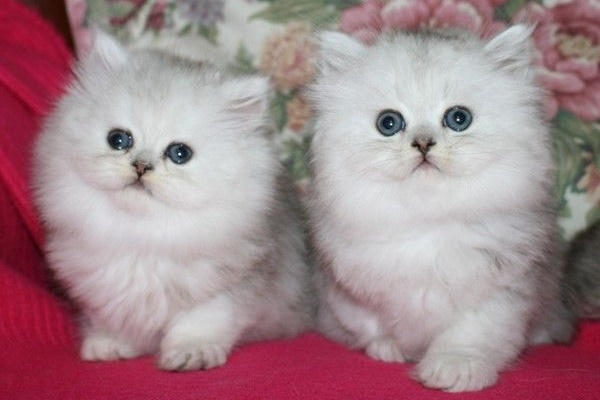 due gattini identici