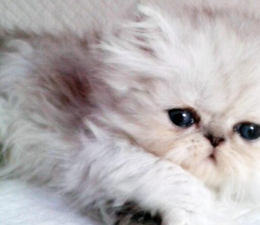 cucciolo di gatto a pelo lungo