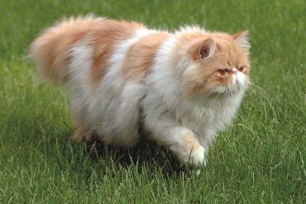 gatto persiano a passeggio