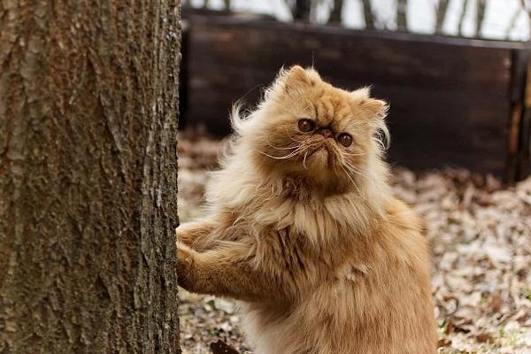 gatto persiano si fa le unghie