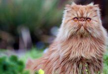 gatto persiano su prato