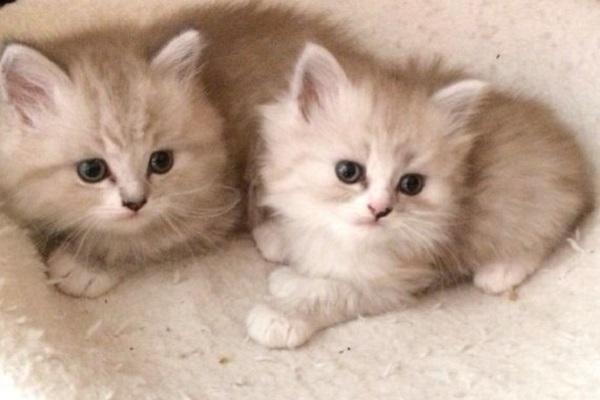 due gattini color crema