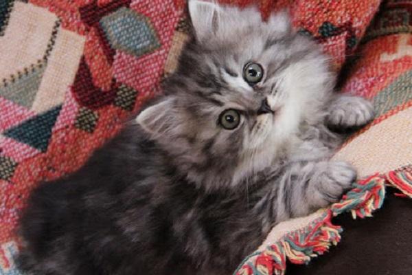 gattino ragamuffin grigio