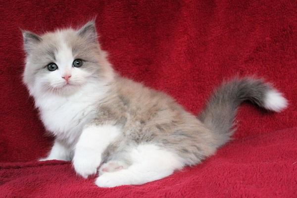 gattino sdraiato su sfondo rosso