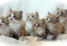 cucciolata di gattini ragamuffin