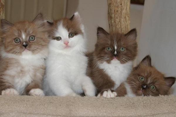 quattro gattini ragamuffin