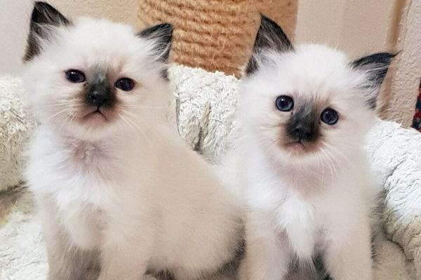 due gattini bianchi con le orecchie e il muso scuro