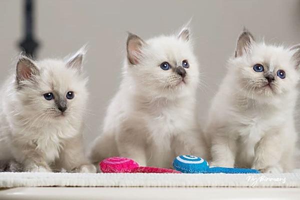gattini che giocano con i pupazzetti