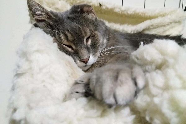 gatto grigio che riposa