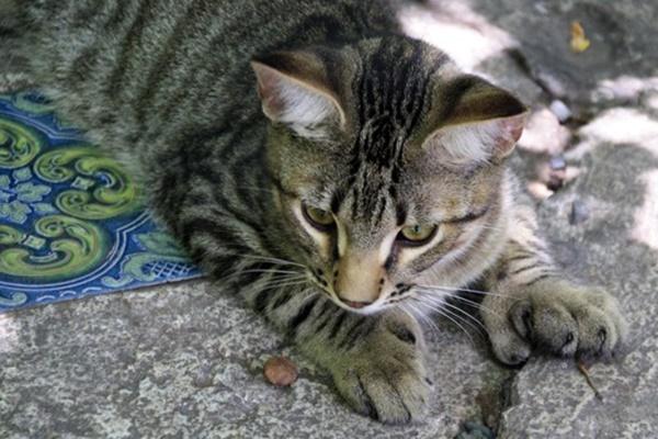 gatti polidattili di hemingway