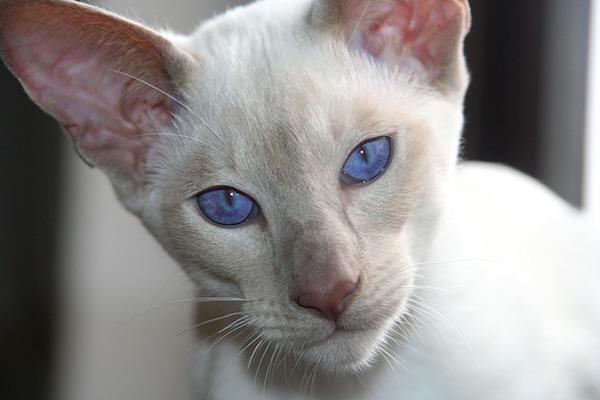 gatto dagli occhi di ghiaccio