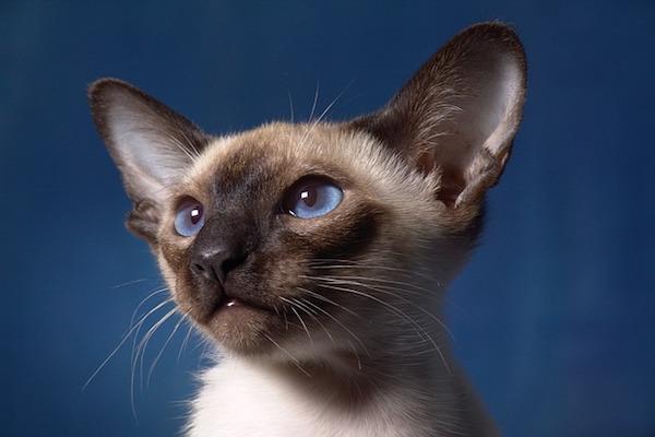 gatto con sguardo bellissimo