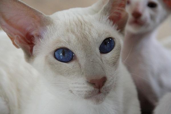 gatto con pelo candido