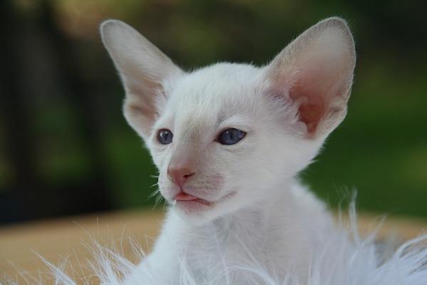cucciolo gatto sguardo concentrato