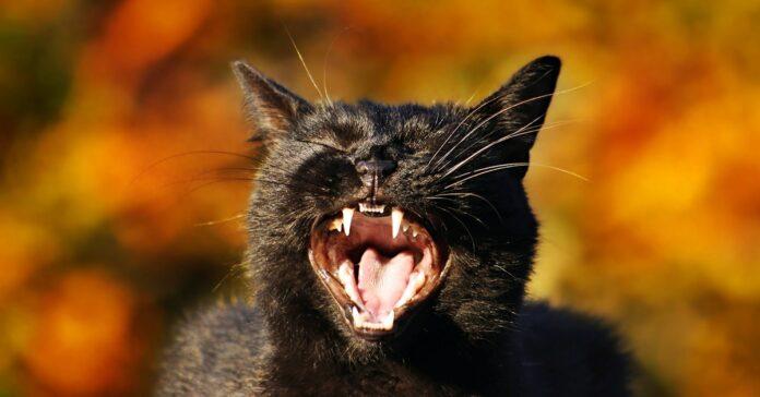 gatto nero che miagola