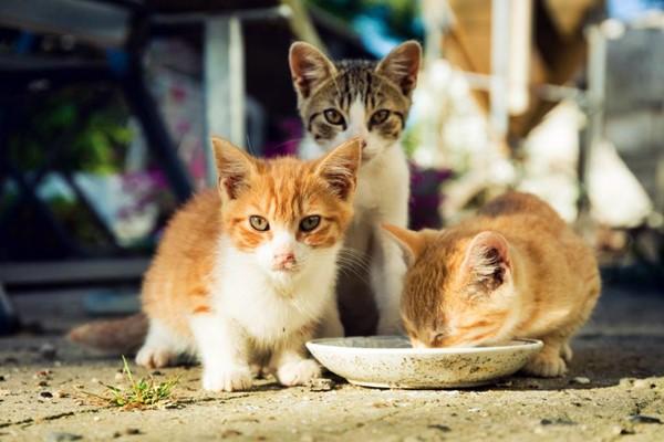 gattini che mangiano