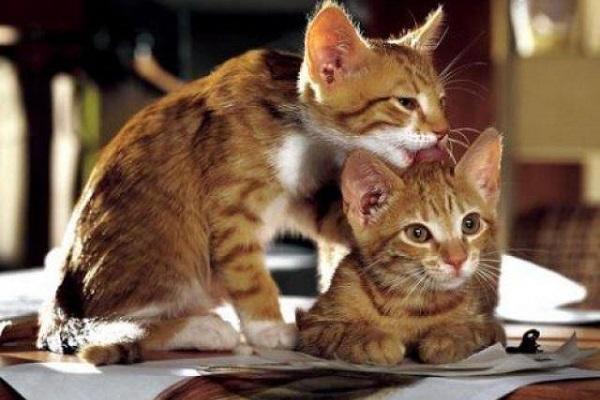 gattini rossi si puliscono a vicenda
