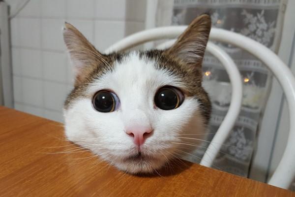 gatto con la testa sul tavolo