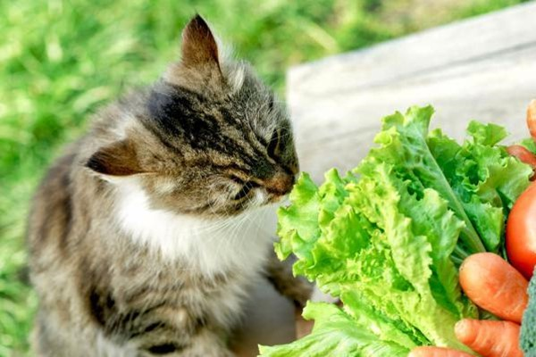 gatto che morde una lattuga