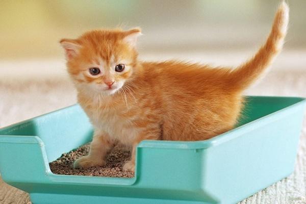 gattino impara a usare la lettiera