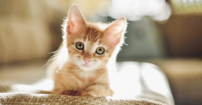 gattino tigrato arancione