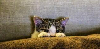 gattino graffia veterinario perché