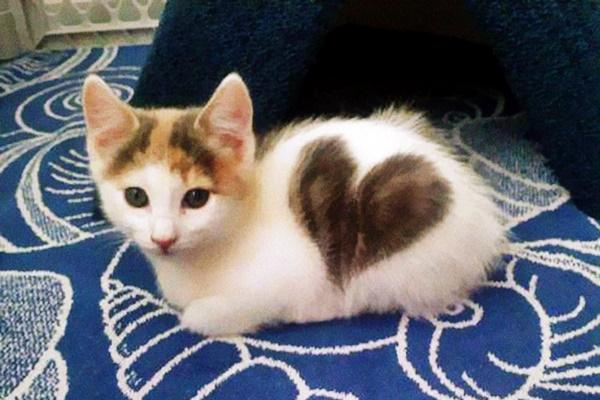 gattino con una macchia a forma di cuore