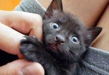 gattino nero molto piccolo