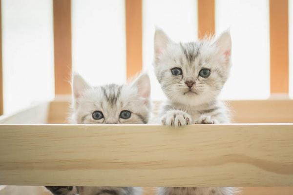 gattini tigrati di colore grigio