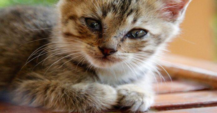 gattino si struscia sugli ospiti vuole coccole