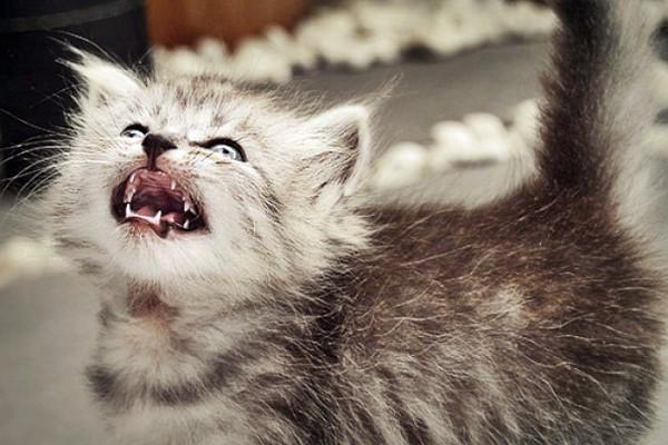 gattino persiano tigrato
