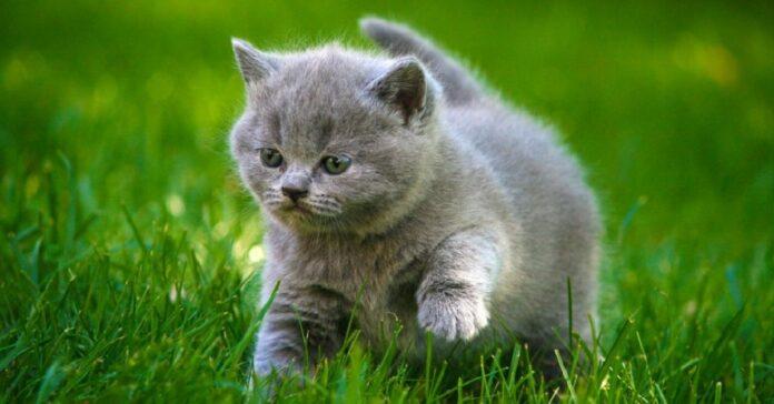 gattino grigio in sovrappeso