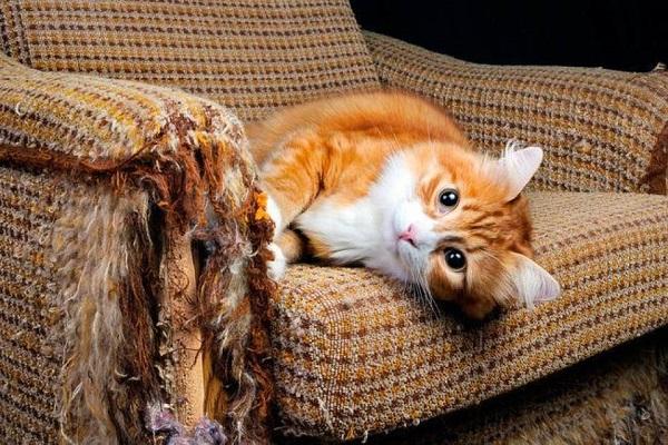 gatto dopo avere fatto le unghie sul divano