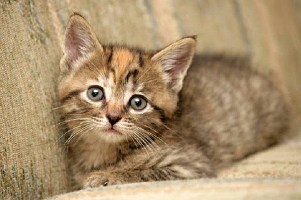 gattino tigrato sul divano