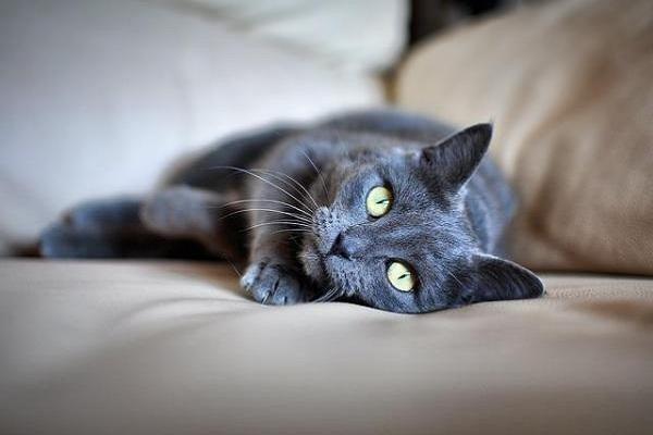 gattino grigio con occhi verdi