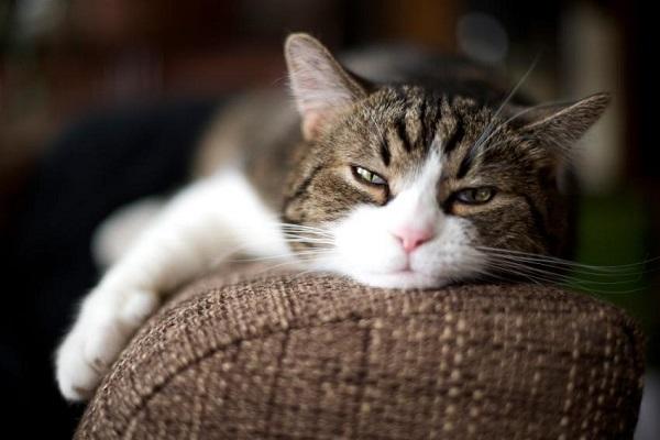 gatto annoiato su divano