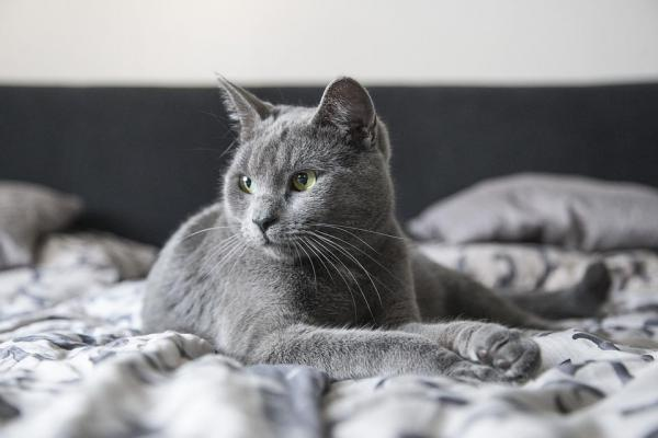 gatto grigio a letto