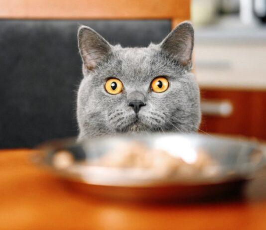 gatto impaziente di mangiare