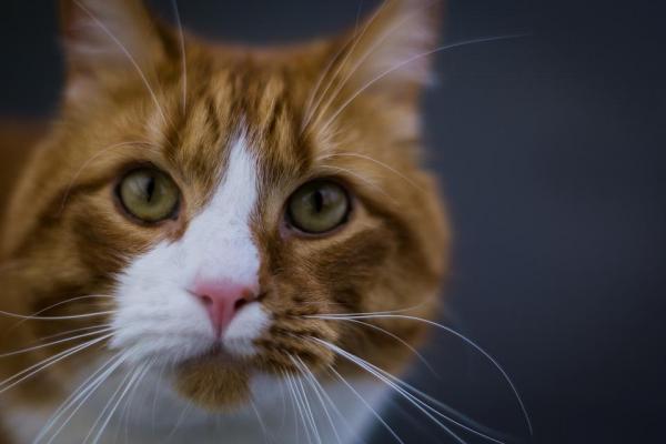 gatto tigrato rosso e bianco
