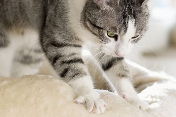 gatto che impasta una coperta