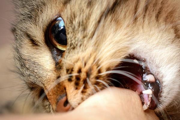 gatto che morde il padrone