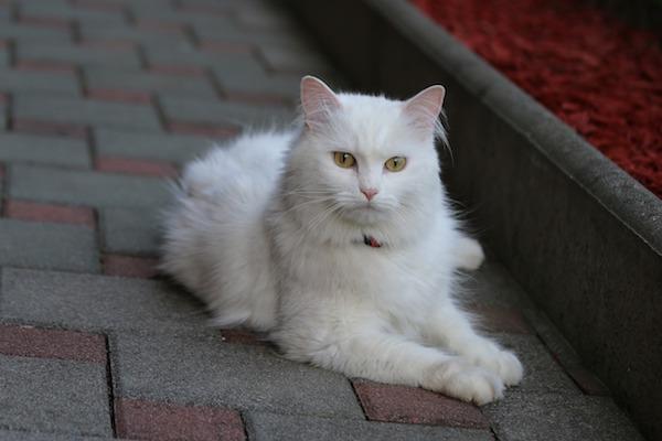gatto d'angora colori