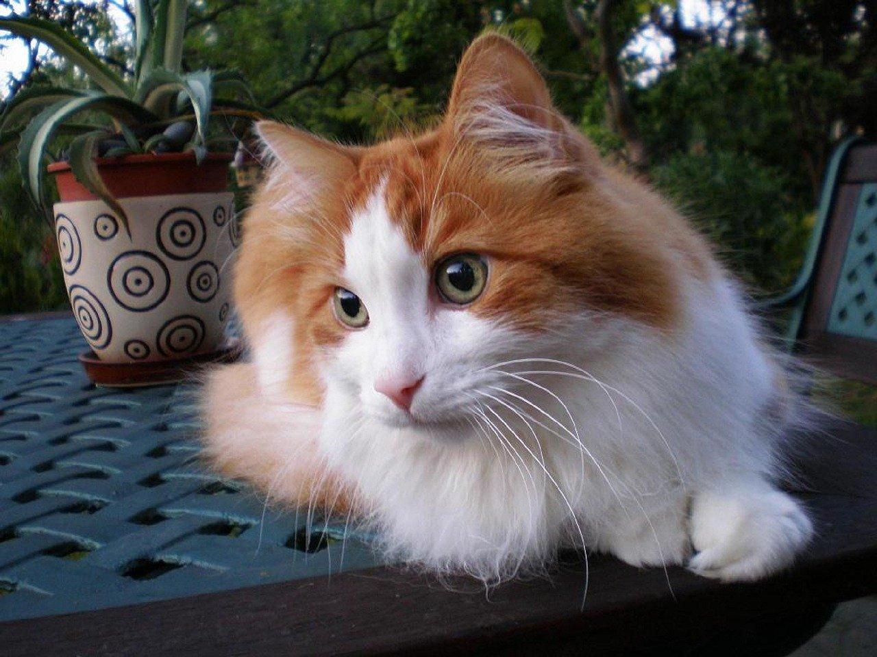 gatto turco marroncino