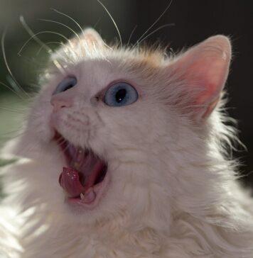 gatto d'angora simpaticissimo
