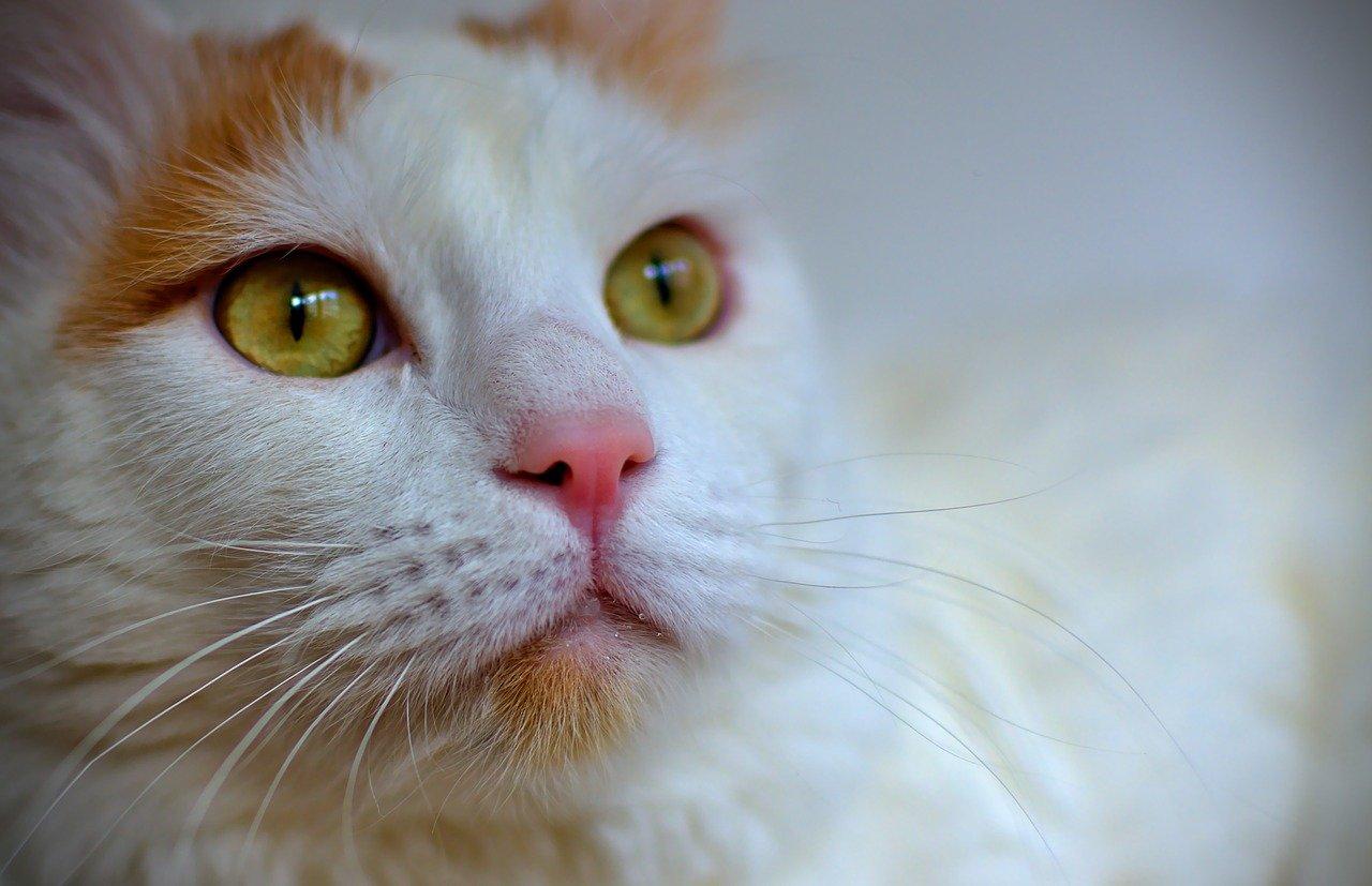 gatto d'angora con gli occhi dolci