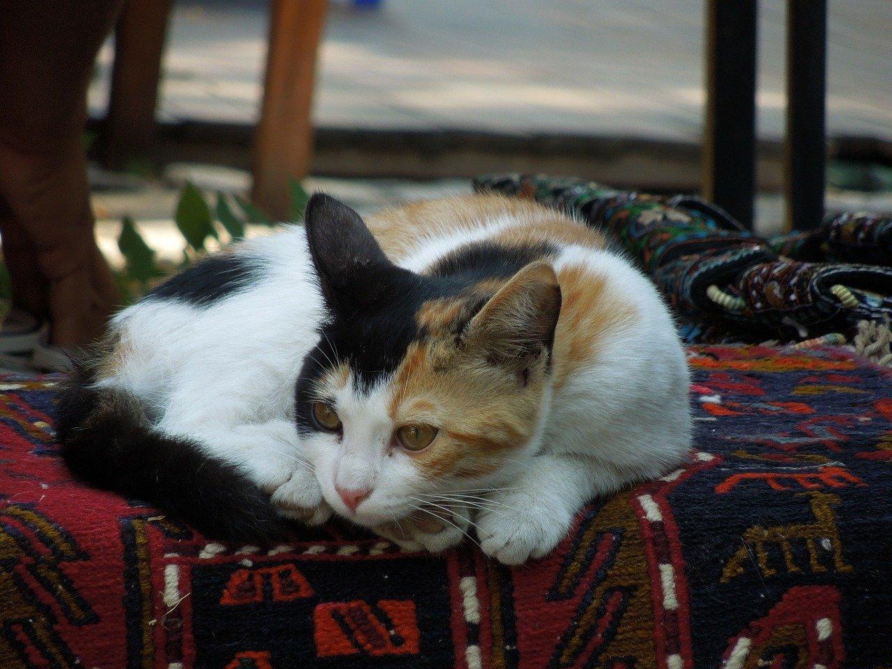 gatto d'angora si rilassa